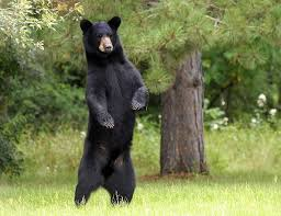 BLACK BEAR CAMPSITE SAFETY