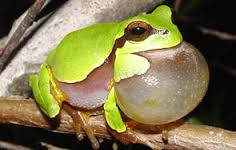 pine-barrens-tree-frog