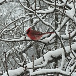 Podcast #137 Winter Birds