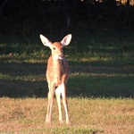 Podcast #141 Whitetail Deer