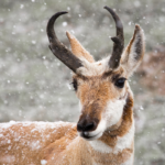 Podcast #153 Pronghorn, an Awesome Animal
