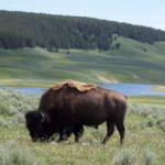 Podcast #170 American Bison