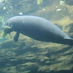 Podcast #176 Manatees - An Awesome Animal
