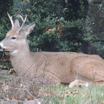 Podcast #185 Whitetail Deer Part 2