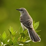 Podcast #198 Mockingbird - An Awesome Animal