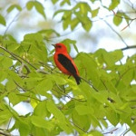 Podcast #205 Scarlet Tanager
