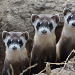 Podcast #218 Endangered Species - Black-Footed Ferret