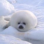 Harp Seal - Podcast #240